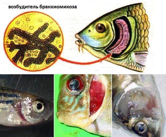 Bệnh nấm mang trên cá koi