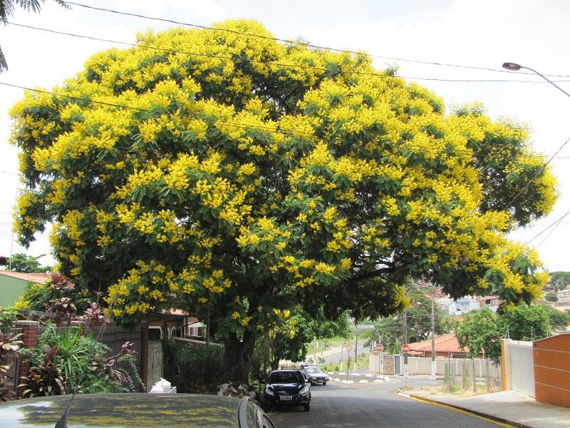 cây bóng mát trước nhà